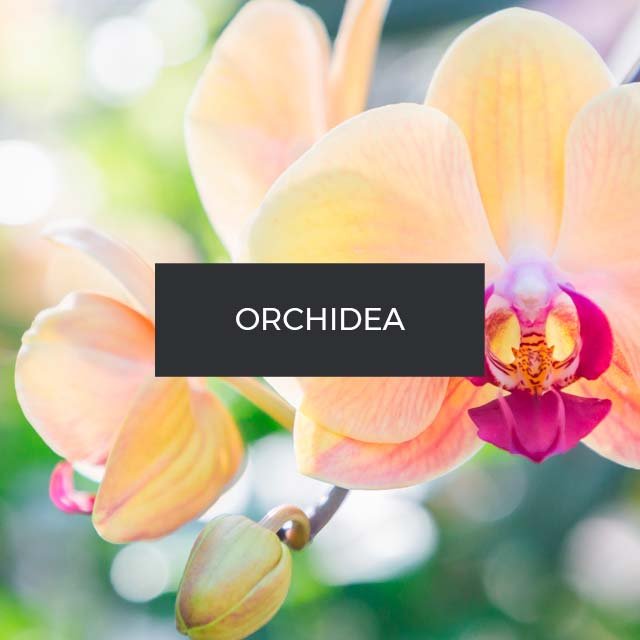 Fragranza: Orchidea. Indonesia.