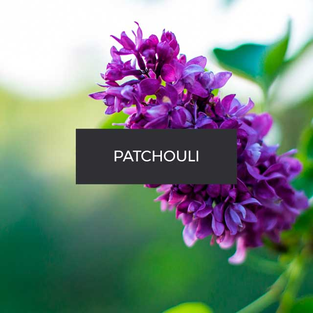 Fragranza Patchouli. Malesia.